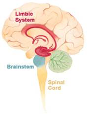 http://upload.wikimedia.org/wikipedia/commons/5/5c/Brain_limbicsystem.jpg